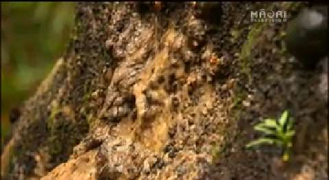 Video for Funding increase to combat Kauri Dieback