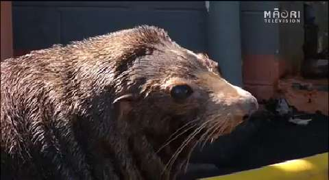 Video for Napier's Marineland says final farewell to their fur seals