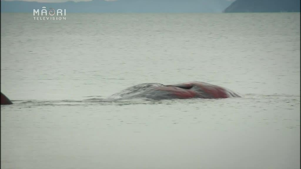 Video for Ngāti Wai team make preparations from stranded whale