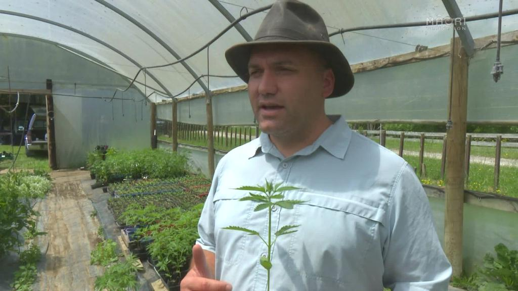 Video for Ruatoria could be first to grow medicinal cannabis in NZ