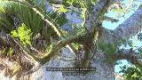 Video for Local iwi are fighting to protect Kauri for future generations