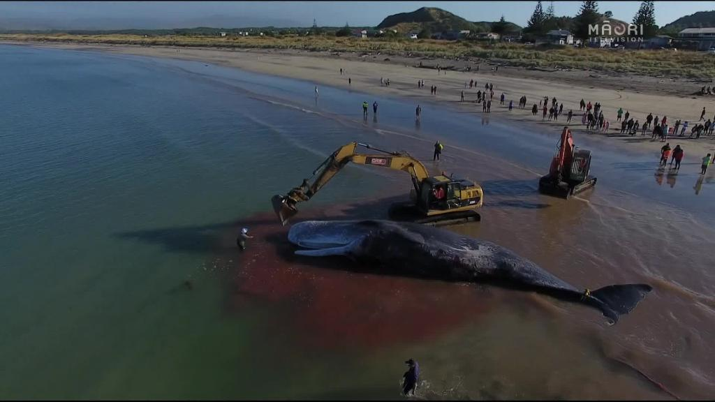 Video for Iwi revives ancient whaling traditions