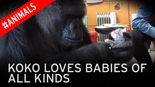 The Chimp That Learned Sign Language : NPR