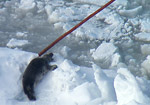 Canada Seal  Hunt Long -B-Roll cut 1