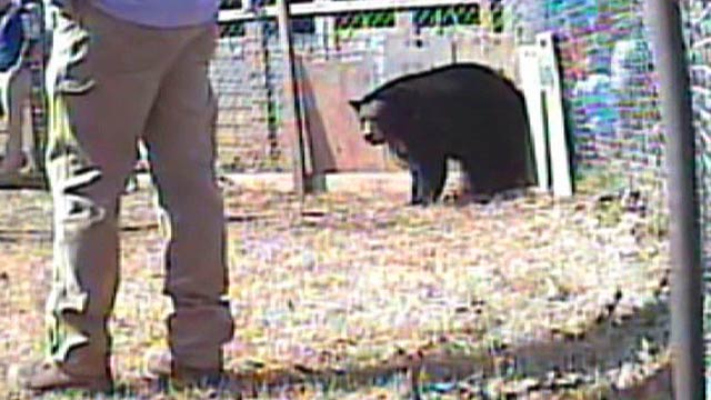 Bear Baiting Cruelty B-roll
