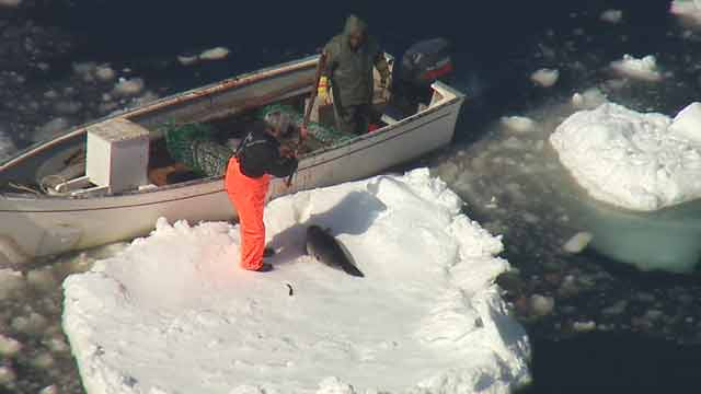 Seal Hunt B-roll 4-13-2011