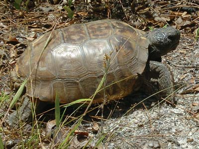 Gopher Tortoise Relocation B-roll