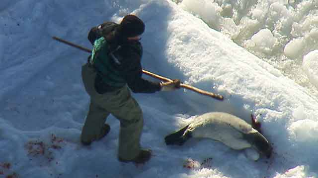 Grey Seal Hunt 2011 B-roll