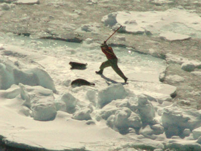 Seal Hunt footage, April 7th-morning